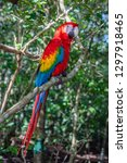 colorful parrot  colombia | Shutterstock . vector #1297918465