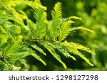 spring branch with green leaves ... | Shutterstock . vector #1298127298