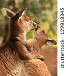 Stock photo an adult female kangaroo hugging her joey 129818345