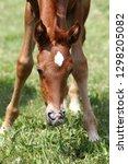 thoroughbred few weeks old...   Shutterstock . vector #1298205082