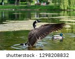 Canada Goose In The Park