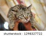 miserable tabby cat in hand | Shutterstock . vector #1298327722