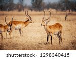 Male Lechwe Antelopes In The...