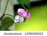 hyacinth bean or lablab...   Shutterstock . vector #1298400022