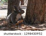 wild koalas on the ground with...   Shutterstock . vector #1298430952
