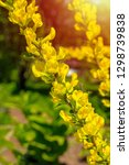 beautiful yellow flowers on a... | Shutterstock . vector #1298739838