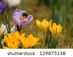 Yellow And Lilac Crocus Flower...