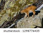 Lynx Climbing Rocks In Mountain