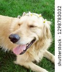Stock photo lucky golden retriever 1298783032