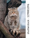 Wild Cat Felis Silvestris On...