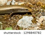 bedriaga's skink or three toed... | Shutterstock . vector #1298840782