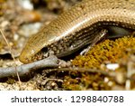 bedriaga's skink or three toed... | Shutterstock . vector #1298840788