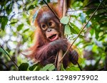 An Baby Orangutan Hangs In A...