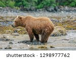 at low tide  grizzly bears come ... | Shutterstock . vector #1298977762