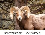 male rocky mountain bighorn...