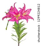 lily flower isolated on white... | Shutterstock . vector #1299224812