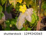 powdery mildew on the leaf of... | Shutterstock . vector #1299242065