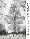 branches of a birch tree... | Shutterstock . vector #1299284662