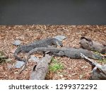 two lace monitor lizards in a... | Shutterstock . vector #1299372292