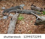 two lace monitor lizards in a... | Shutterstock . vector #1299372295