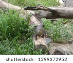 lace monitor lizard on a log in ... | Shutterstock . vector #1299372952