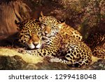 Jaguar wild cat animal stock...