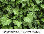 a wall of common ivy. usuable... | Shutterstock . vector #1299540328