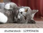 British Shorthair Cat And Her...