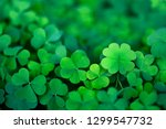 Stock photo lucky irish four leaf clover in the field for st patricks day 1299547732