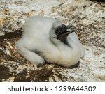baby oung gannet bird. birds...   Shutterstock . vector #1299644302