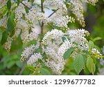 flowers of a bird cherry... | Shutterstock . vector #1299677782