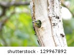 coppersmith barbet megalaima