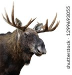Moose  Or Elk  Isolated On...
