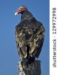 Turkey Vulture Perched On A...