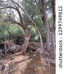 tangle of trees in desert near... | Shutterstock . vector #1299749812