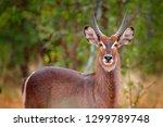 waterbuck  kobus ellipsiprymnus ... | Shutterstock . vector #1299789748