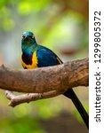 golden breasted starling ... | Shutterstock . vector #1299805372