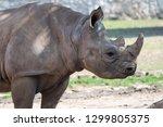 young eastern black rhinoceros  ... | Shutterstock . vector #1299805375