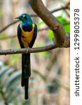 golden breasted starling ... | Shutterstock . vector #1299805378
