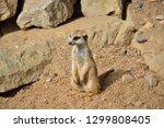 the small suricata   Shutterstock . vector #1299808405