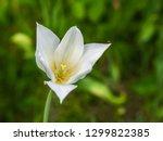 beautiful flower of white tulip ... | Shutterstock . vector #1299822385