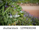 flower pot and purple flower ... | Shutterstock . vector #1299830248