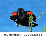 Red Winged Blackbird Display