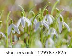 spring snowdrops flower. early... | Shutterstock . vector #1299877825