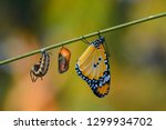 Stock photo amazing moment monarch butterfly and caterpillar and chrysalis 1299934702