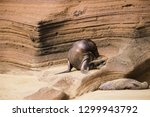 baby sea lion camouflaged...   Shutterstock . vector #1299943792