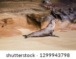 baby sea lion camouflaged...   Shutterstock . vector #1299943798
