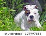 American Bulldog Puppy In The...