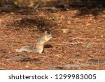 Alert Big Cypress Fox Squirrel...