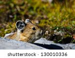 Small photo of Close up of an alpine Pika, Banff national park